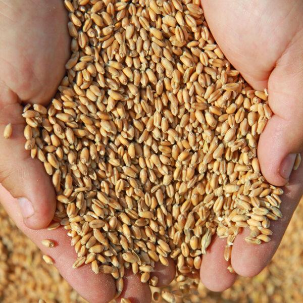 High-quality-whole-gluten-wheat