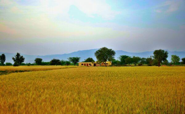 Whole wheat field at farm house
